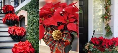 Božićna zvezda - najlepši dekorativni ukras za praznike