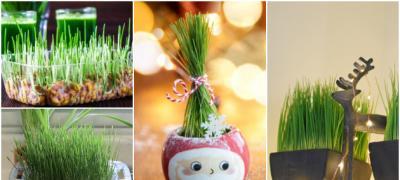 Vreme je da zasadite božićnu pšenicu: 5 koraka do najlepšeg ukrasa u domu